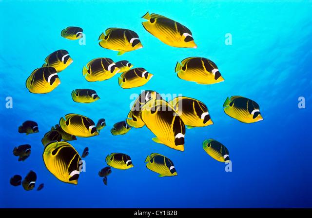 School of Raccoon Butterflyfish, Chaetodon lunula, Big Island, Hawaii, USA - Stock Image