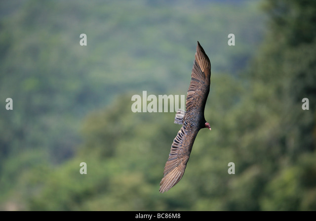 Turkey vulture soaring over the rainforest in the interior of the Cocle province, Republic of Panama. - Stock Image