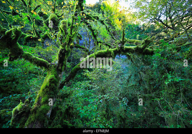 Tree with moss in Caucasus mountains, Abkhazia, Georgia - Stock Image