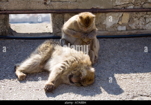 Gibraltar Apes mutual grooming - Stock Image