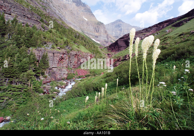 Beargrass frames Siyeh Pass Glacier National Park Montana 4 5 foot stalk topped by creamy white flowers COPYRIGHT - Stock Image