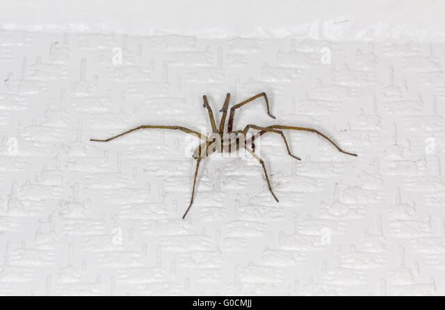 168 La Tegenaire Apprivoisee furthermore File  mon Spiders U S  239 together with Popular Spider Web Tattoo Buy moreover Tegenaria Domestica also  on tegenaria domestica