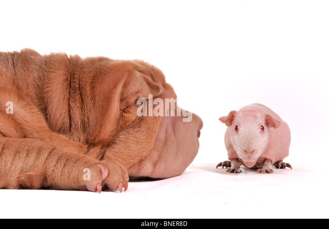 Big dog sniffing a small cavy - Stock Image