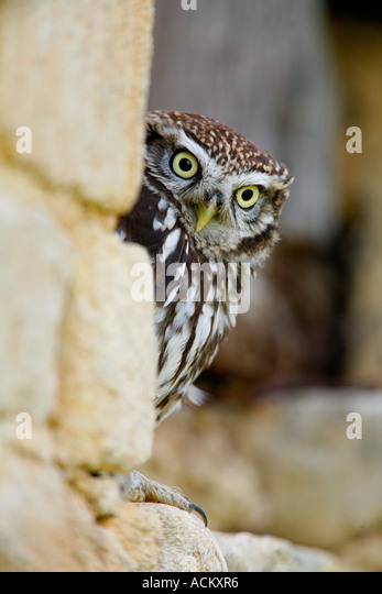 LITTLE OWL Athene noctua - Stock Image