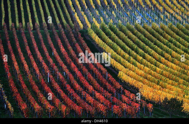 Marktbreit, Germany. 30th Oct, 2013. Vineyards are autumnally coloured near Marktbreit, Germany, 30 October 2013. - Stock Image