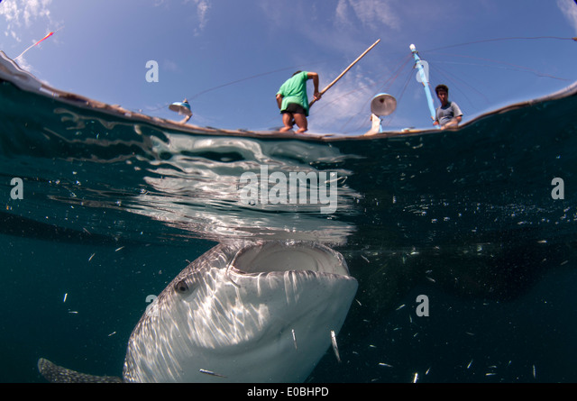 Split scene of Whale shark below a bagan (fishing boat with platform and nets), Cenderawasih Bay, New Guinea (Rhincodon - Stock-Bilder