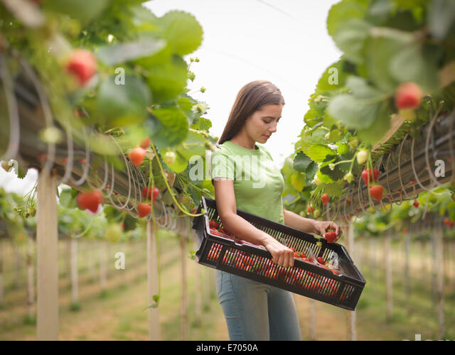 Worker picking strawberries in polytunnel of fruit farm - Stock Image
