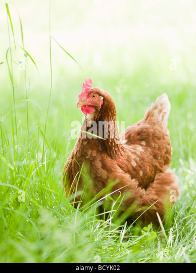 Chicken in Meadow - Stock Image