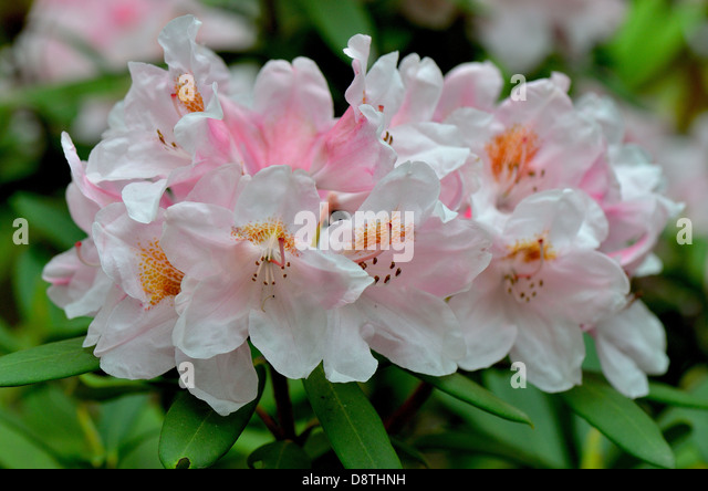 Pink Rhododendron 'Bashful' flowers close up - Stock Image