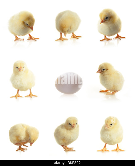 Yellow isolated chicken and egg on a white background - Stock Image
