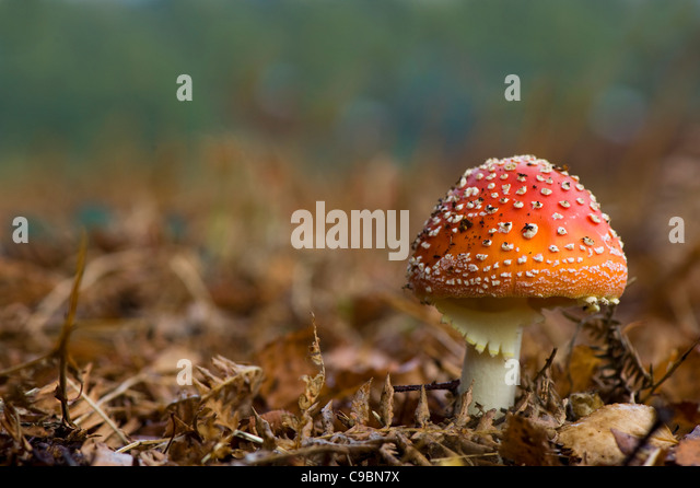 Amanita muscaria, commonly known as the fly agaric or fly Amanita - Stock Image