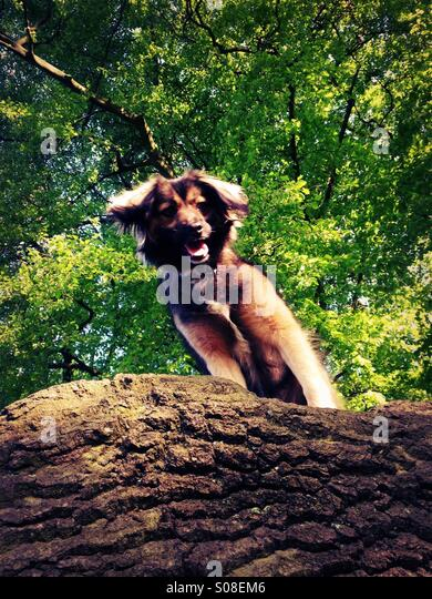 My dog peering down at me from a tree. - Stock Image