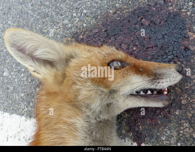 Road killed fox on the side of the road - Stock Image
