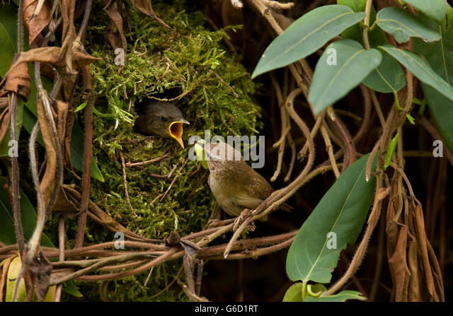 winter wren nest stock photos winter wren nest stock images alamy. Black Bedroom Furniture Sets. Home Design Ideas