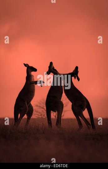 Boxing Kangaroo - Stock Image