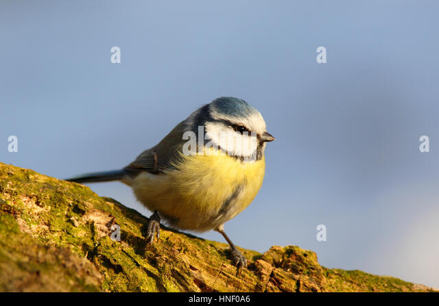 Blue Tit (Cyanistes caeruleus) sitting on branch, Middle Elbe Biosphere Reserve, Saxony-Anhalt, Germany - Stock Image