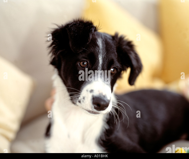Border Collie Puppy - Stock Image
