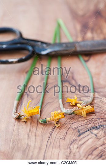 Dead tete a tete daffodil cut flowers with a pair of scissors on an olive wood board - Stock Image