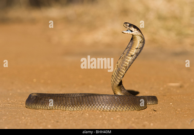 A snouted cobra (Naja annulifera) standing with hood up in a warning posture - Stock Image