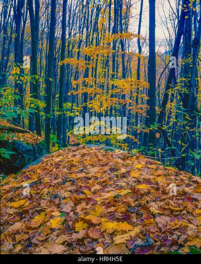 Fallen leaves, Adirondack Mountain Preserve, New York, Adirondack Mountains, Mt. Marcy trail - Stock-Bilder