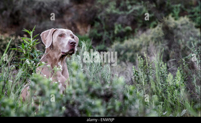 Weimaraner dog in sea of lush green plants out in nature with head sticking out above the growth - Stock Image