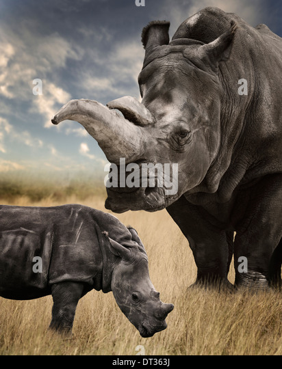 Mother And Baby White Rhino Grazing - Stock Image