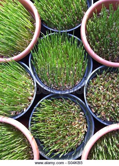 Wheat Grass - Stock-Bilder