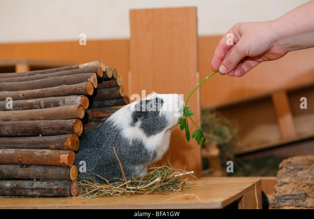 cavy, guinea pig (Cavia spec.), in cage, feeding on parsley - Stock Image