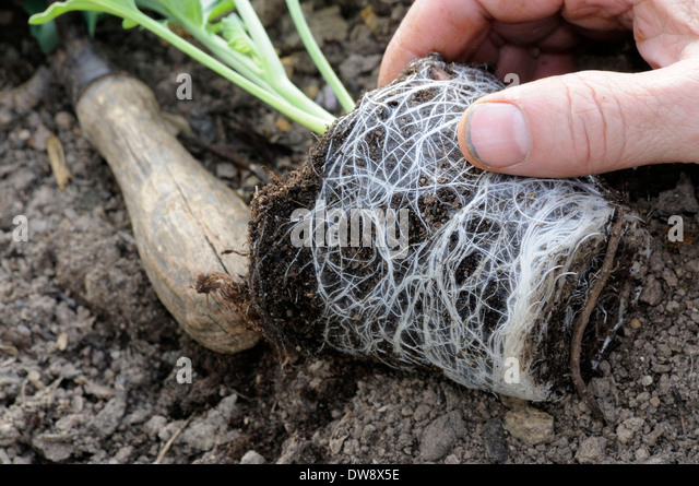 Turnip Cabbage - Stock Image