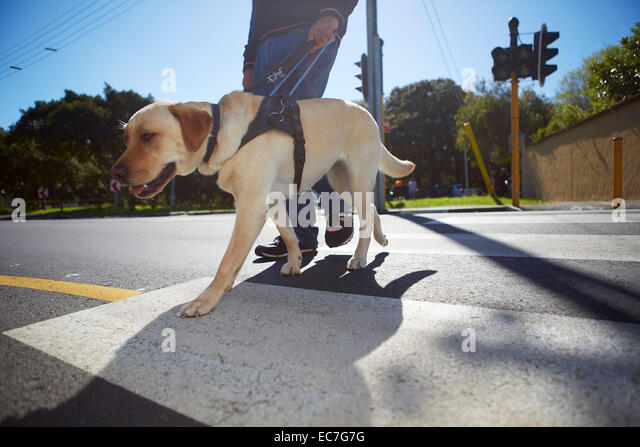 Visually impaired man crossing a street with his guide dog - Stock Image