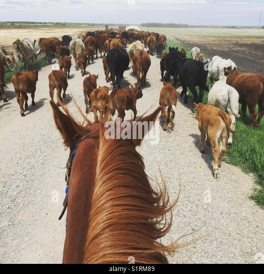 Mowing cattle by horseback - Stock Image