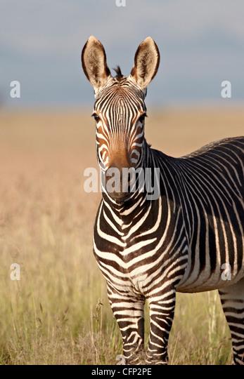 Cape mountain zebra (Equus zebra zebra), Mountain Zebra National Park, South Africa, Africa - Stock Image