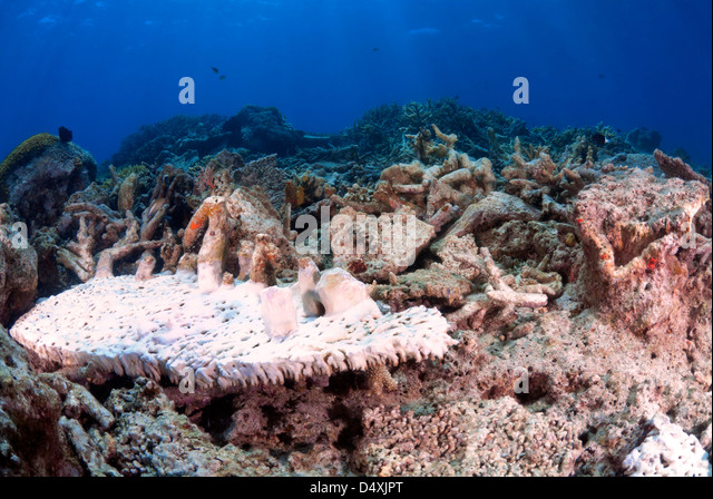 Damaged, Bleached Plate Coral Fungiidae after Cyclone Yasi, Great Barrier Reef, Coral Sea, Port Douglas, Queensland, - Stock Image
