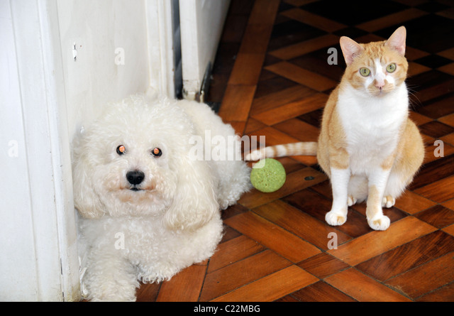 Poodle, ball and cat, Sao Paulo, Brazil - Stock Image