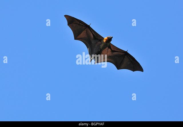 Madagascar Fruit Bat or Flying Fox (Pteropus rufus), adult in flight, Berenty Private Reserve, Madagascar - Stock Image
