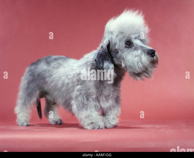 1950s DANDY DINMONT TERRIER 2 YEARS OLD SALISMORE PEASHOOTER RAGLAND - Stock Image