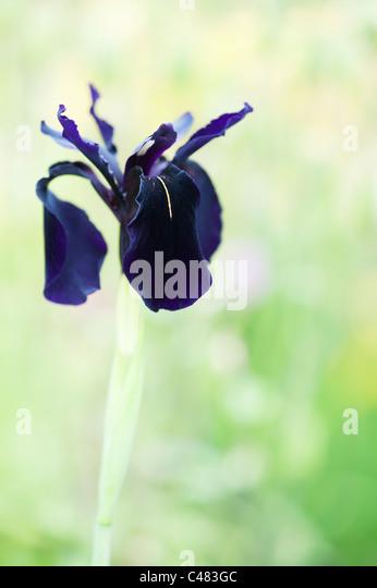 Iris chrysographes 'black form'. Black iris (goldvein Iris) in a garden - Stock Image