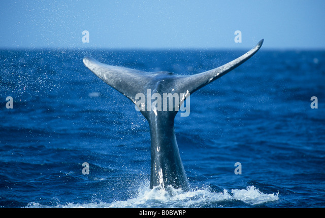 Humpback Whale (Megaptera novaeangliae) Flukes visible when diving, Silver Bank, Dominican Republic,  Caribbean. - Stock Image