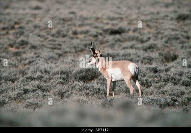 A pronghorn antelope on the plaines of Wyoming USA COPYRIGHT DUANE BURLESON - Stock Image