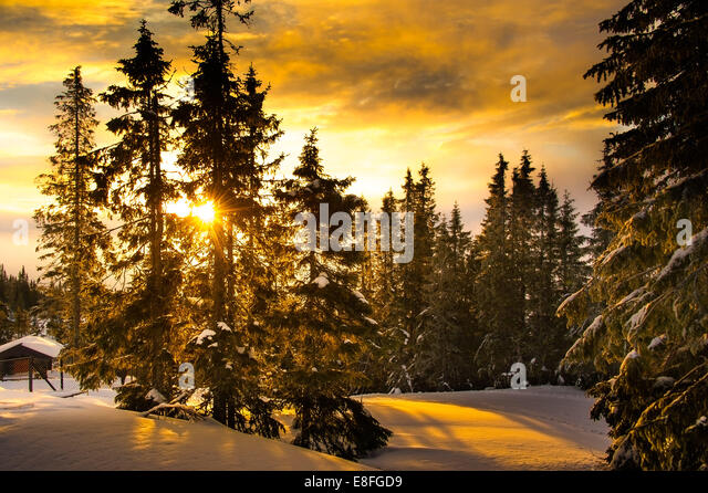 Snow covered trees at sunset - Stock Image
