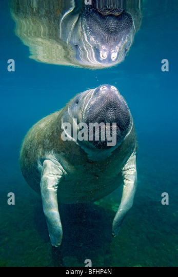 Florida manatee (Trichechus manatus latirostris), Crystal River, west-central Florida, U.S.A. - Stock Image