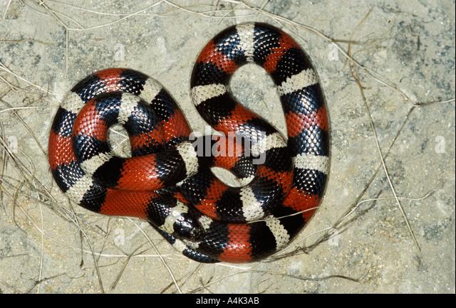 Pueblan Milk Snake Mexico USA - Stock-Bilder