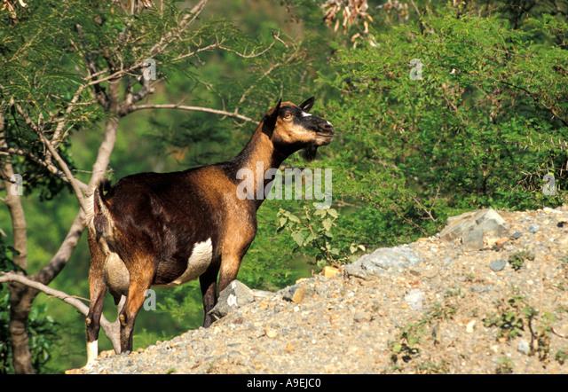 St John USVI National Park wandering goat - Stock Image