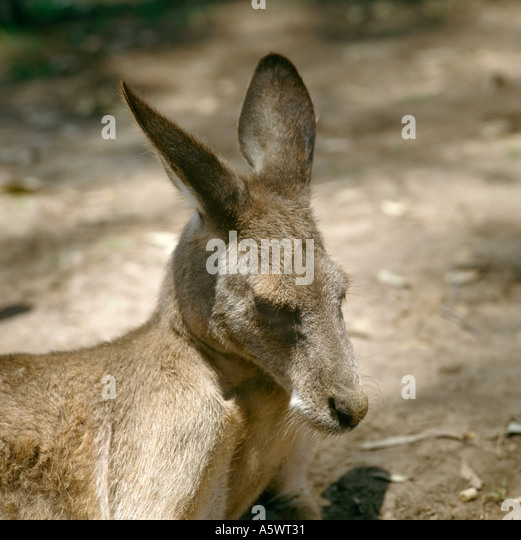 Close up of Kangaroo in the Australia Wildlife Park, near Sydney, New South Wales, Australia - Stock Image