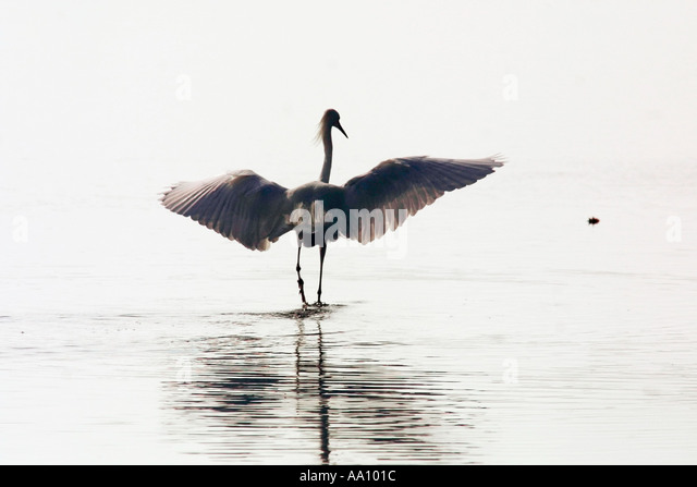 Great egret uses shade of its wings searching for prey along Georgia coast in southeast United States COPYRIGHT - Stock Image
