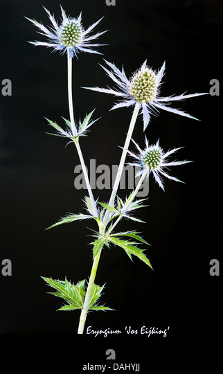 Sea Holly (Eryngium) 'Jos Eijking' flowers and leaves on the black background July England UK Europe - Stock Image