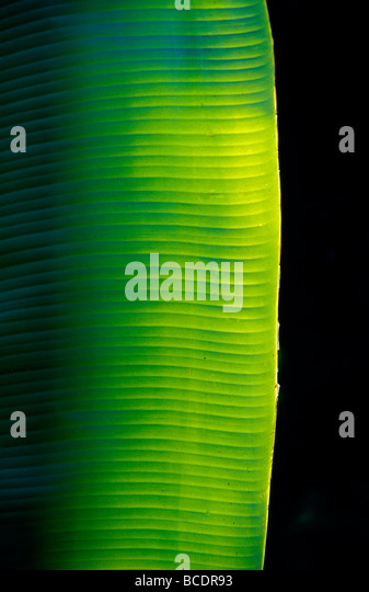 A ray of sunshine pierces the darkness and illuminate a banana leaf. - Stock Image