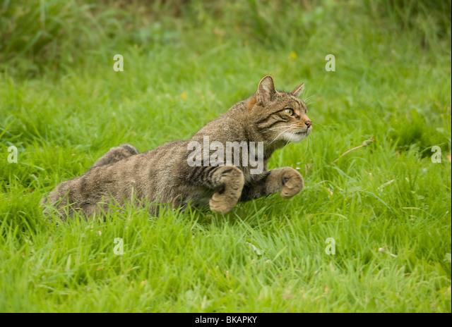 Wild cat, Felis silvestris, starts to run - Stock Image