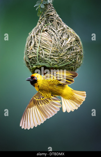 Masked Weaver; Ploceus Velatus; hanging upside down from nest; South Africa - Stock-Bilder
