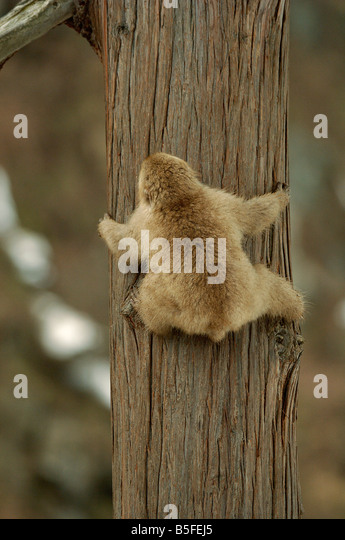 Japanese macaque or snow monkey Macaca fuscata climbing tree series 1 of 3 - Stock Image